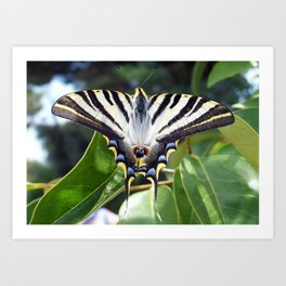 Swallowtail Buttterfly Resting on Oleander Leaves Art Print