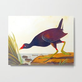 Common Gallinule Bird Metal Print