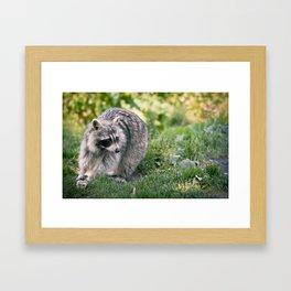 Racoon Framed Art Print