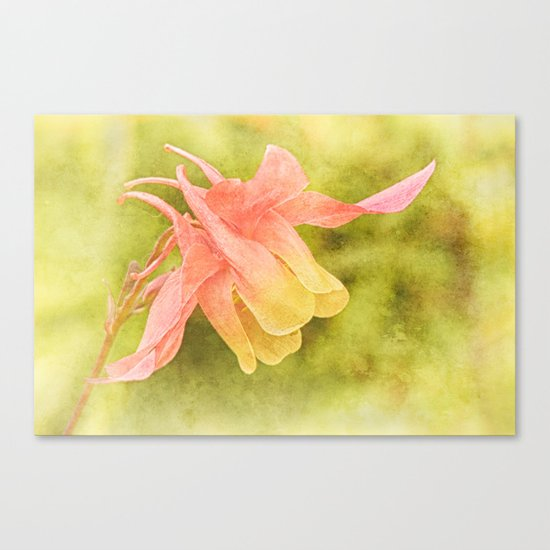 Soft Aquilegia Canvas Print