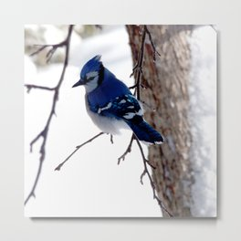Blue Jay in winter 2 Metal Print
