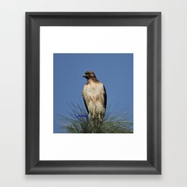 Red-Tailed Hawk on Watch at Foothill and B Street Framed Art Print