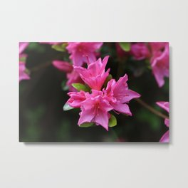 Pink Azelaea Spring Flowers Pretty Flowers Blossoms Nature Flora Metal Print