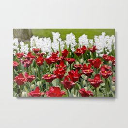 Red Tulip Field with White Hyacinth Flowers Blooming in the Background in Amsterdam, Netherlands Metal Print