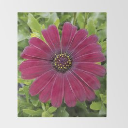 Deep red velvet African daisy -- Osteospermum flower Throw Blanket