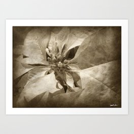 Pale Yellow Poinsettia 1 Antiqued Art Print