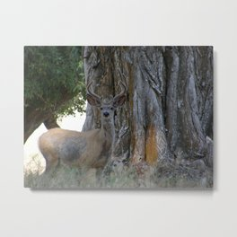 Mule-tail Deer, Buck in Velvet Metal Print