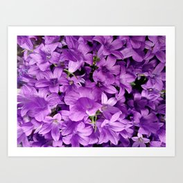 Campanula flowers as a background Art Print