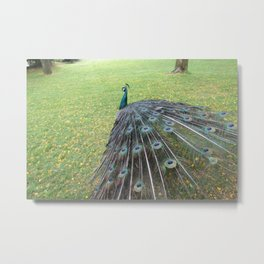 Indian Peafowl Metal Print