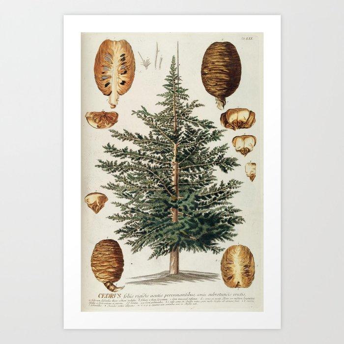 Vintage Cedar Tree Illustration Art Print