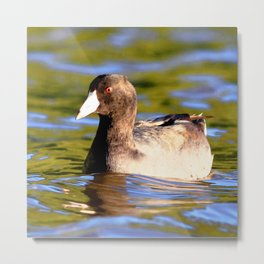 Watercolor Bird, American Coot 01, St John, USVI, Riding the Current Metal Print