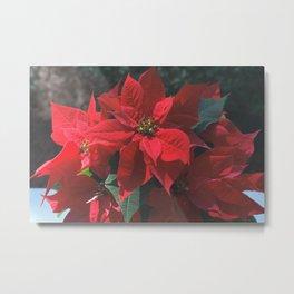 Poinsettia - Euphorbia pulcherrima Metal Print