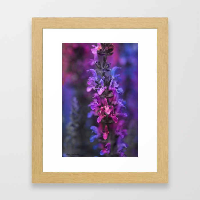 Purple Rain Of Purple Salvia Flowers Framed Art Print
