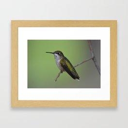 Ruby Throated Humming Bird At Rest Framed Art Print