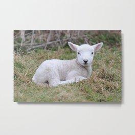 Lamb at rest Metal Print