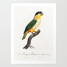 The Black-Headed Parrot from Natural History of Parrots (1801-1805) by Francois Levaillant Art Print