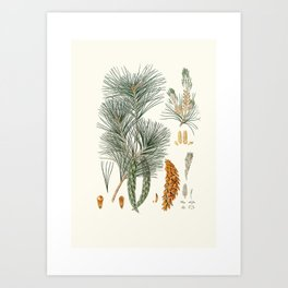 Pinus strobus = Weymouth pine (1837) - Aylmer Bourke Lambert Art Print