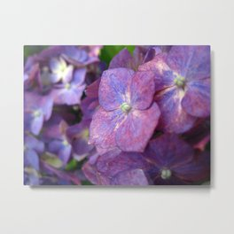 Purple and Pink Hydrangeas Photography Metal Print