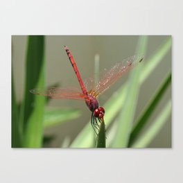 Beautiful Red Skimmer or Firecracker Dragonfly Canvas Print