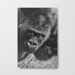 GORILLA STARE Metal Print
