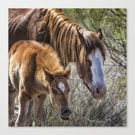Wild Foal with Dad Canvas Print