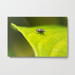 White-headed Flesh Fly Metal Print