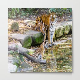 Lessons Of Life Mother Tiger And Cubs Metal Print