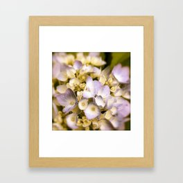 Delicate and Soft - Hydrangea flowers in lavender  Framed Art Print