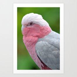 Beautiful Rose Breasted Cockatoo Art Print