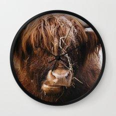 Highland cow feeding on straw on a frosty winters morning. Norfolk, UK. Wall Clock