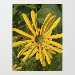 Green eyed Black Eyed Susan Poster
