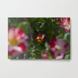 Red Tea Rose Metal Print