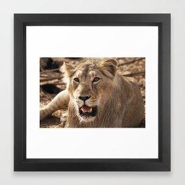 Asiatic Lion 5, Gir Forest, Gujrat, India Framed Art Print