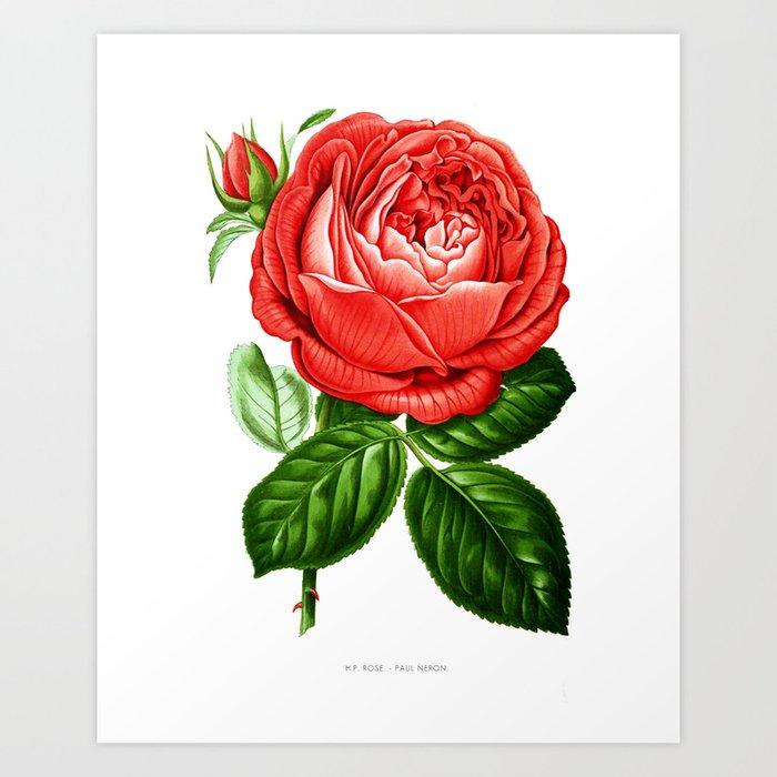 Vintage Rose Botanical Print By Paul Neron 1878 Educational Chart
