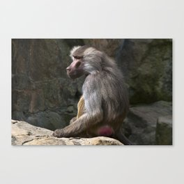 OLIVE BABOON Canvas Print