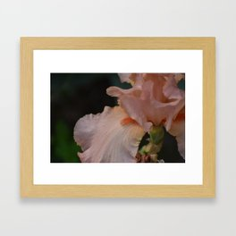 Peaches 'n' Creme Iris Framed Art Print