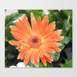 Happy Orange Daisy Canvas Print