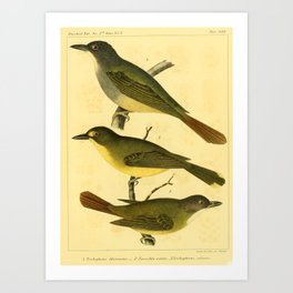 Green-backed Bulbul, trichophorus chloronotus, xenocichla notata, Red-tailed Bulbul, trichophorus calurus2 Art Print