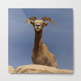 Desert_Bighorn_Sheep Portrait II - Valley_of_Fire State_Park Metal Print