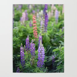 Purple lupines in the field Poster
