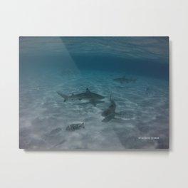 Sharks Sharks and more Sharks Metal Print
