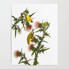 American Goldfinch John James Audubon Vintage Scientific Hand Drawn Illustration Birds Poster
