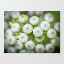 Wht-flowered Milkweed Canvas Print