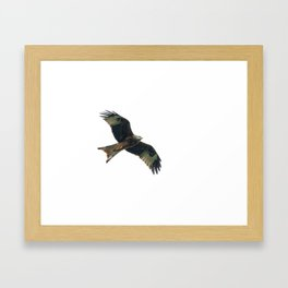 Red Kite in flight Framed Art Print