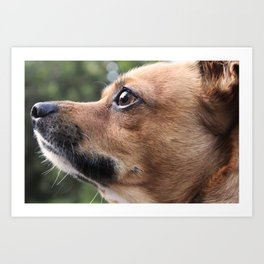 Brown Chihuahua  Art Print