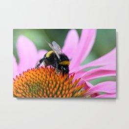 Bumble bee on eastern purple coneflower Metal Print