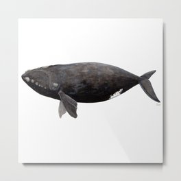 Northern right whale (Eubalaena glacialis) Metal Print