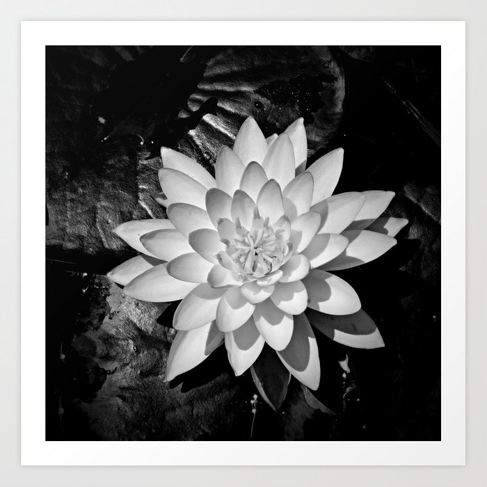 Water Lily In Black And White From Overhead Art Print By Bavosiphotoart Society6