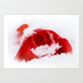 A lone rose resting in the snow after a late London snowstorm in March Art Print