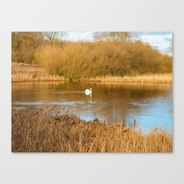 Swan in a golden pond Canvas Print